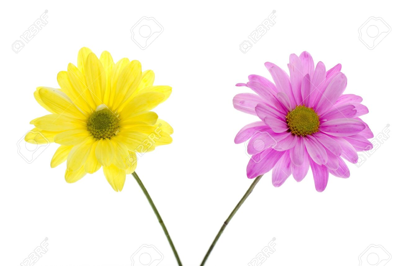 Two shasta daisies one yellow daisy one pink daisy white flowers stock photo two shasta daisies one yellow daisy one pink daisy white flowers tinted yellow and pink isolated on white two green stems izmirmasajfo