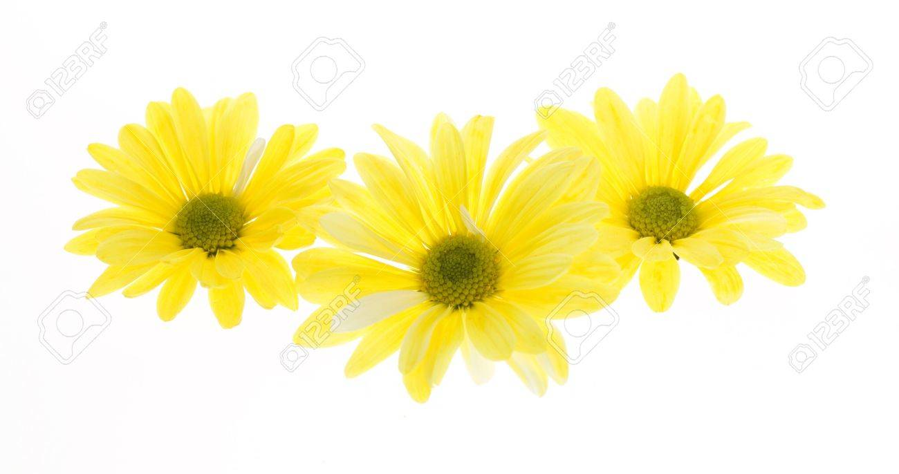 Three yellow shasta daisy flowers isolated on white no stem stock photo three yellow shasta daisy flowers isolated on white no stem white flowers tinted yellow chrysanthemum maximum mightylinksfo