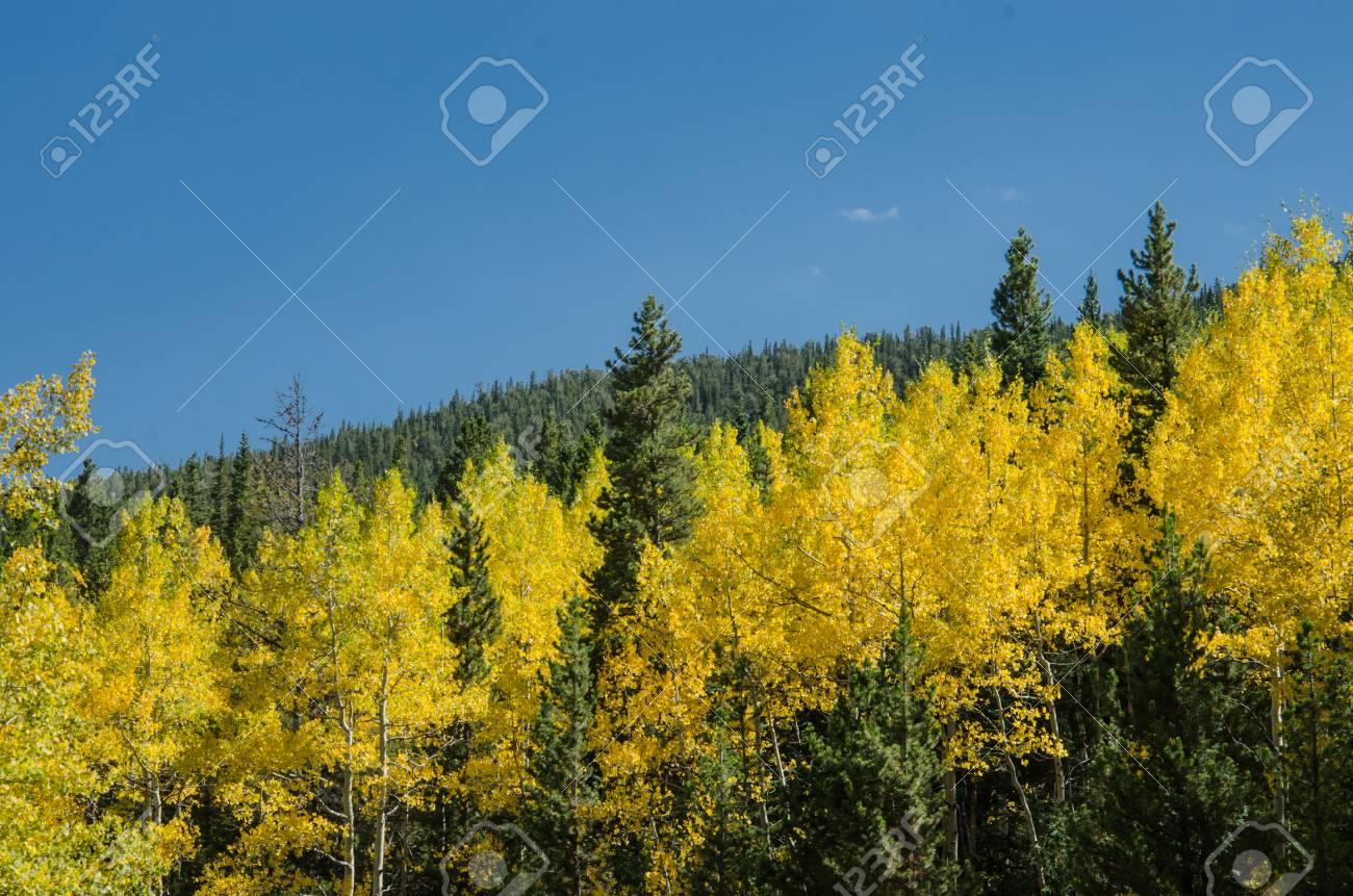 trembles jaunes mélangés avec des sapins verts sur une pente de