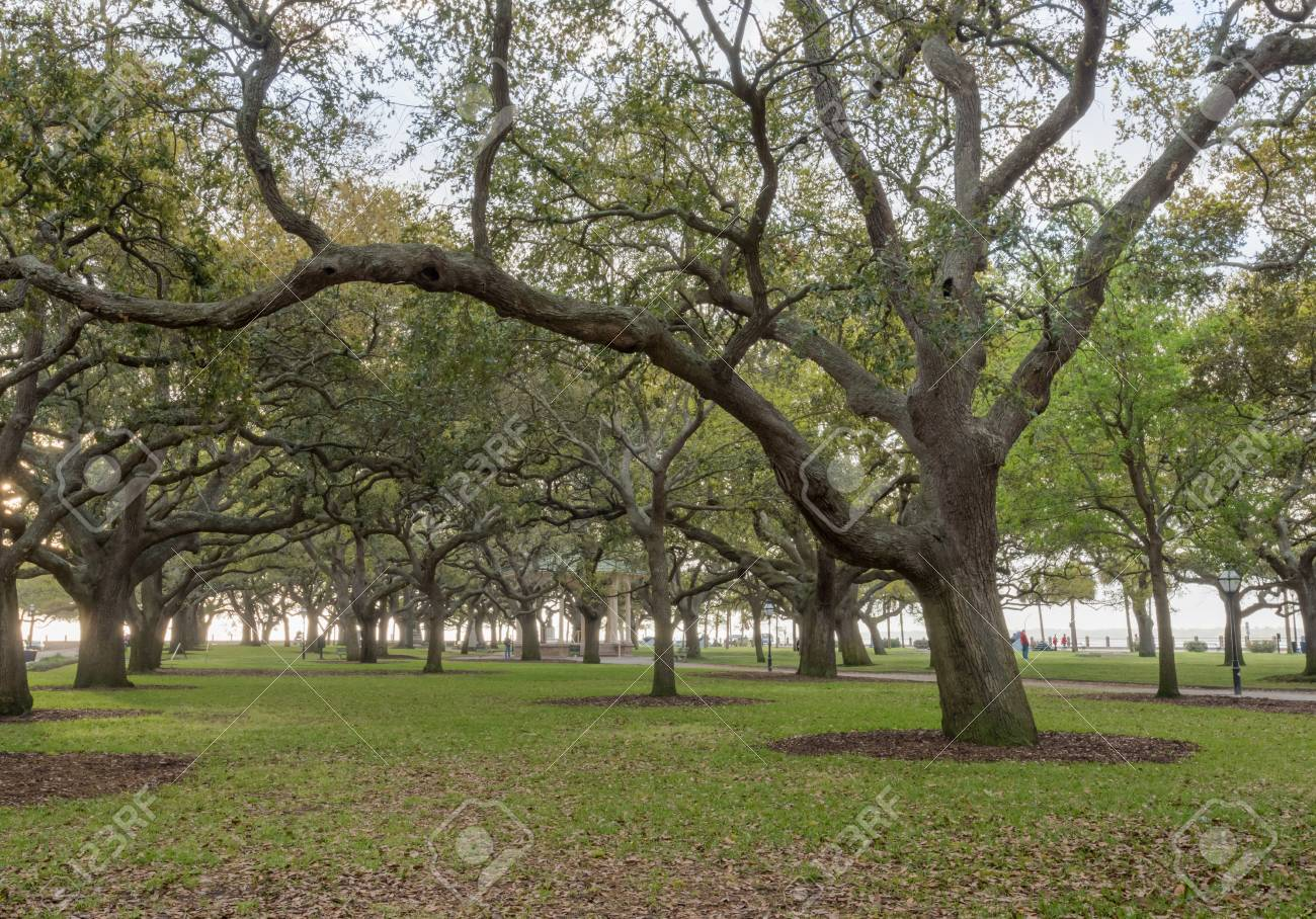 Live Oak Trees Stand At Attention In White Point Garden In ...