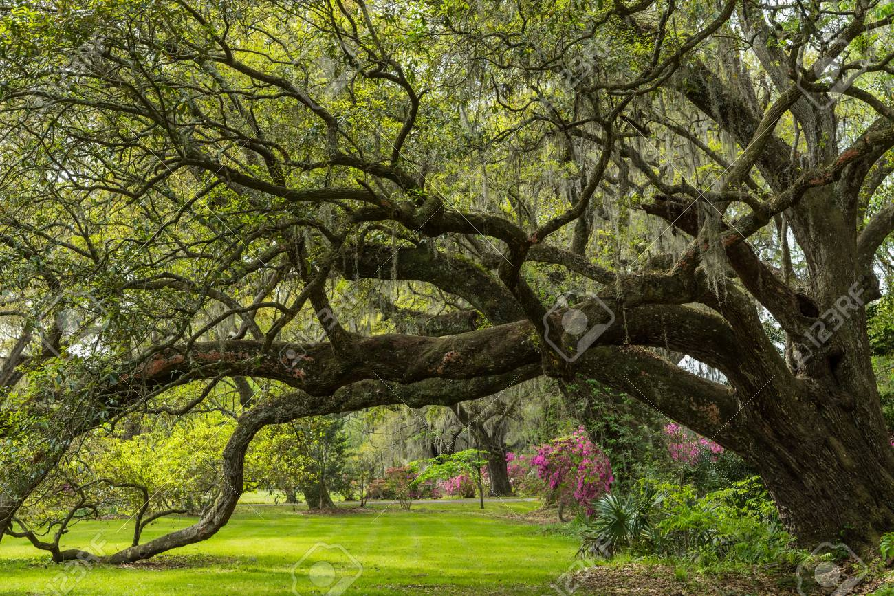 Live Oak Tunnel In Spring With Blooming Azalea Gardens Stock Photo ...