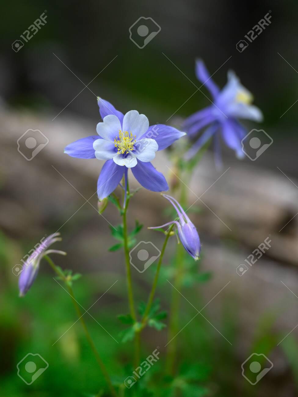 Multiple Columbine Flowers Blooming In Colorado Wilderness Stock