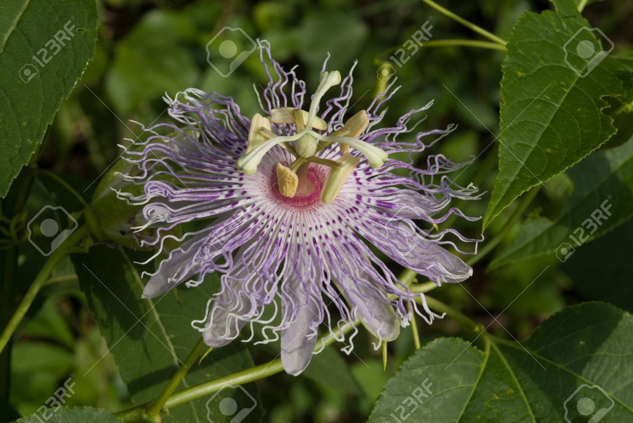 Purple Passion Flower Blooming On Vine In Arkansas Stock Photo