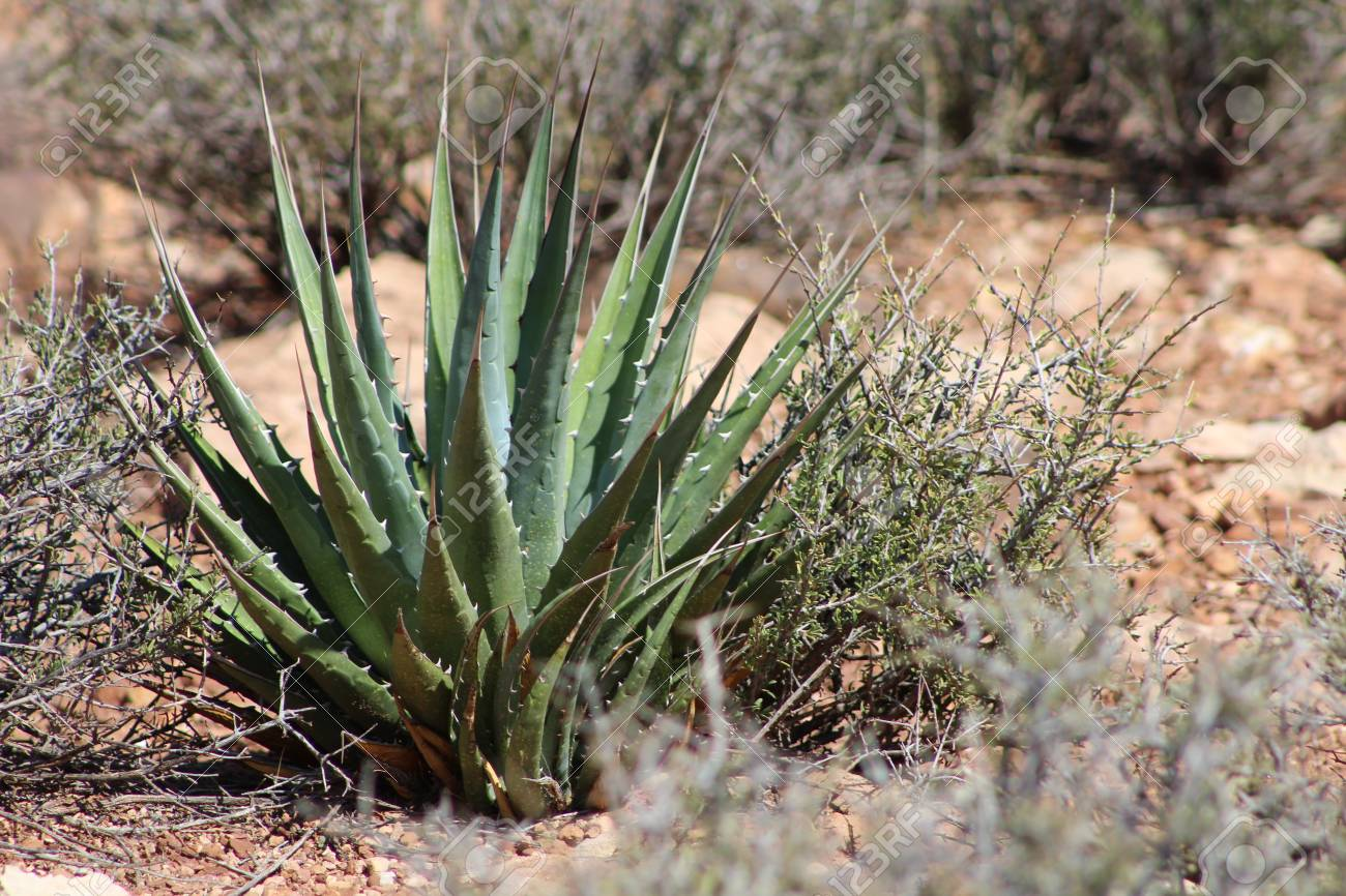 Small Agave Cactus Plant Bush Outside Of The Grand Canyon Az