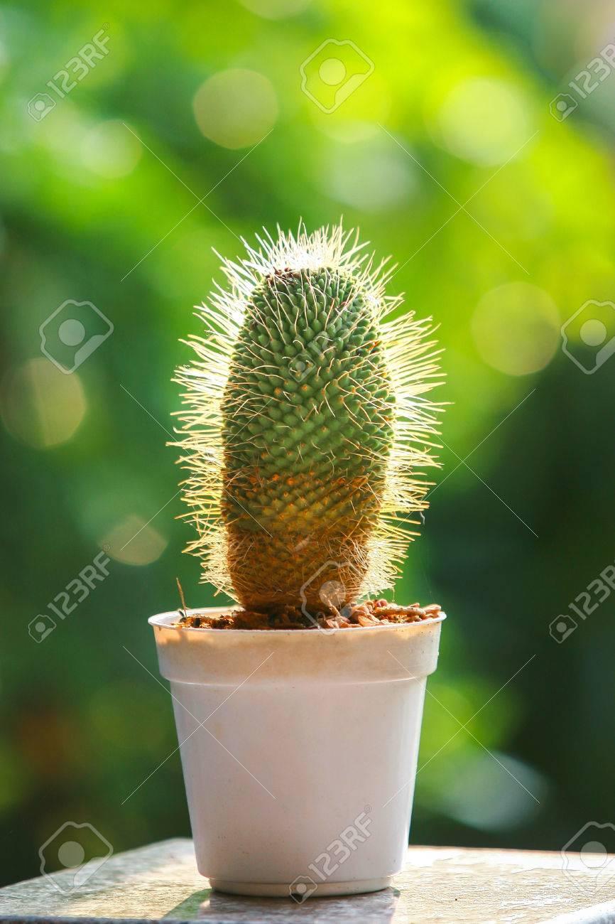 Mescal kaktus