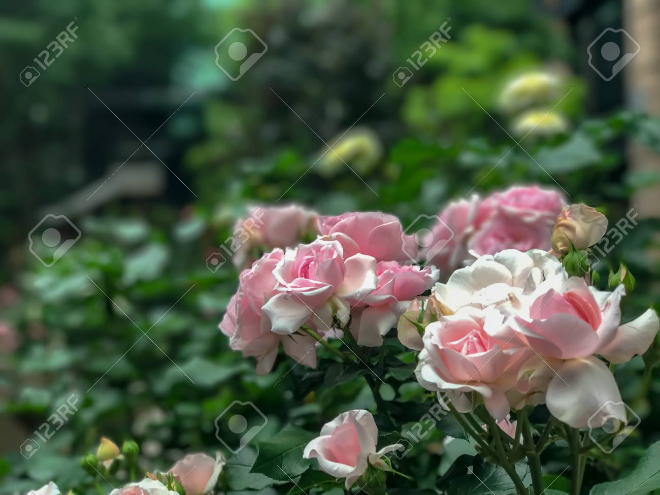 Amazing Rose Garden Japan Photos - Landscaping Ideas for Backyard ...