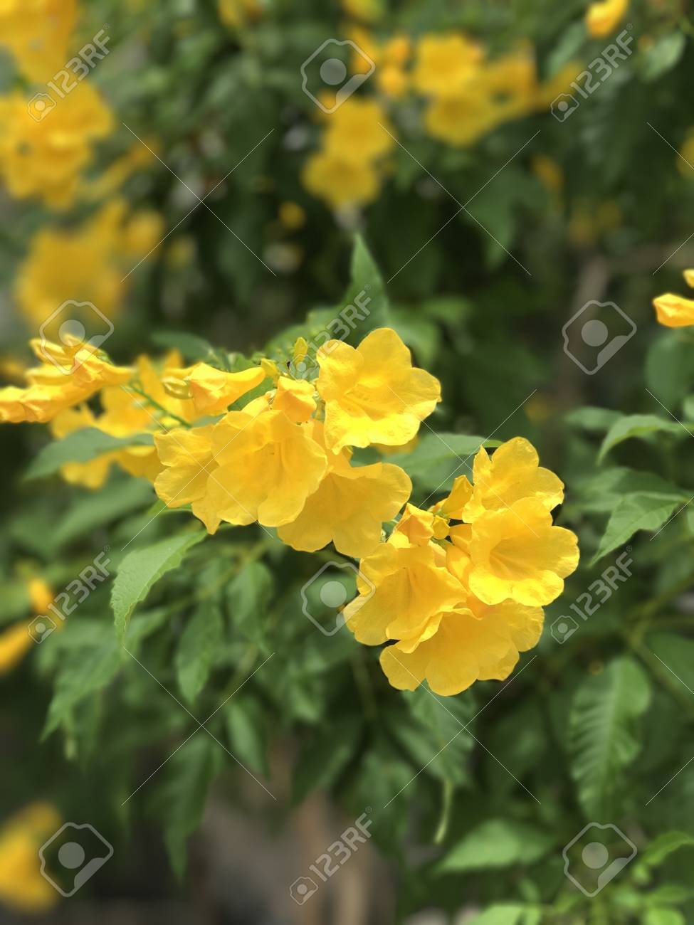 Tecoma stans or yellow elder or yellow trumpetbush or yellow stock stock photo tecoma stans or yellow elder or yellow trumpetbush or yellow bells or ginger thomas flower mightylinksfo Images