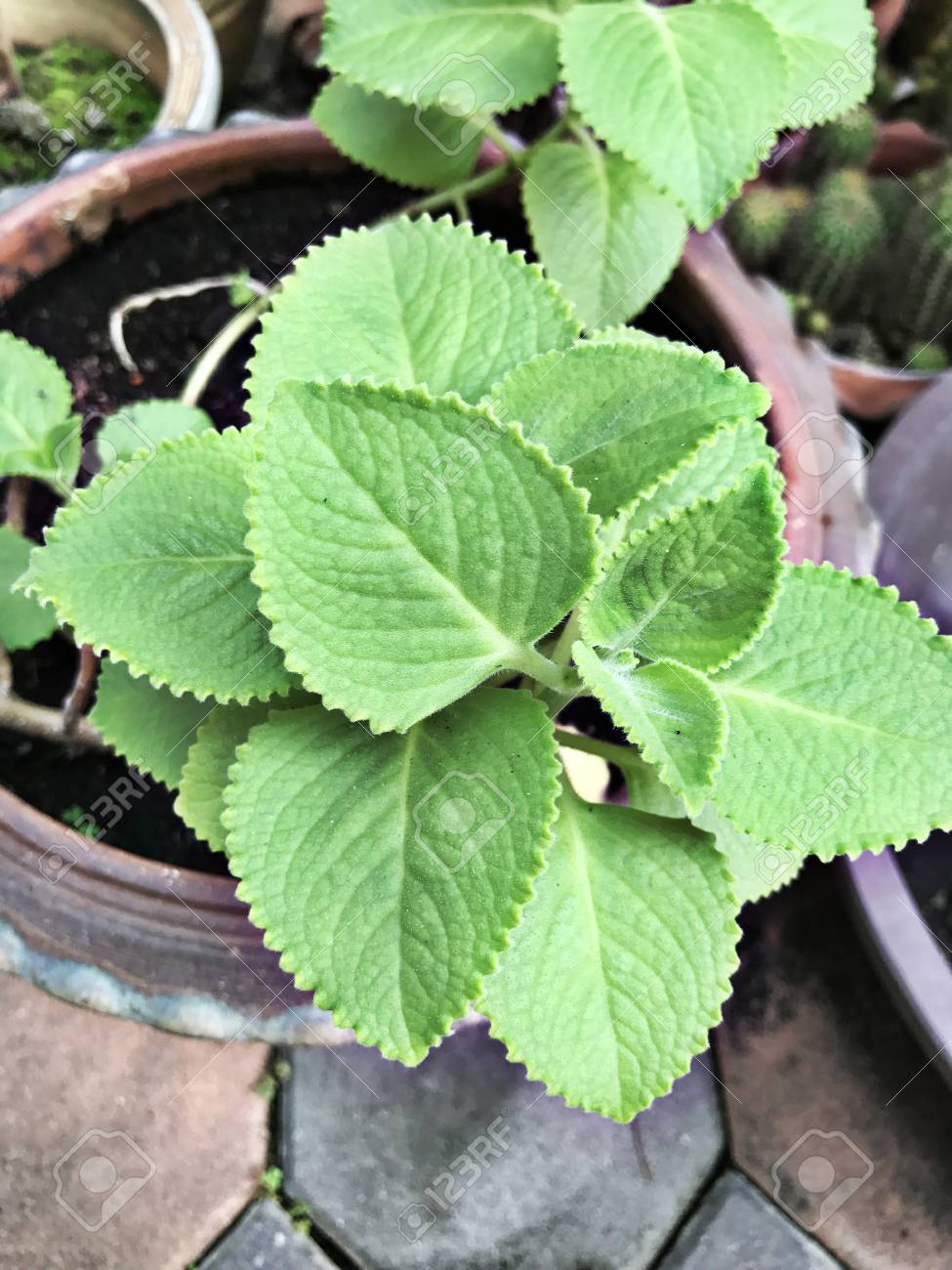 Plectranthus Amboinicus Or Mexican Mint Or Tiger S Ear Plant