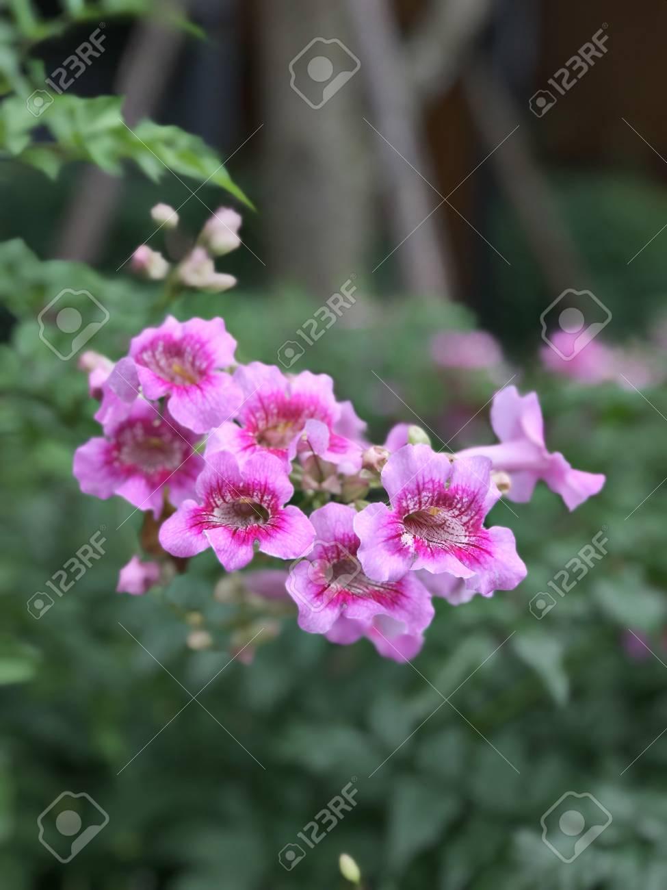 Pink Trumpet Vine Or Port Sthns Creeper Or Podranea Ricasoliana