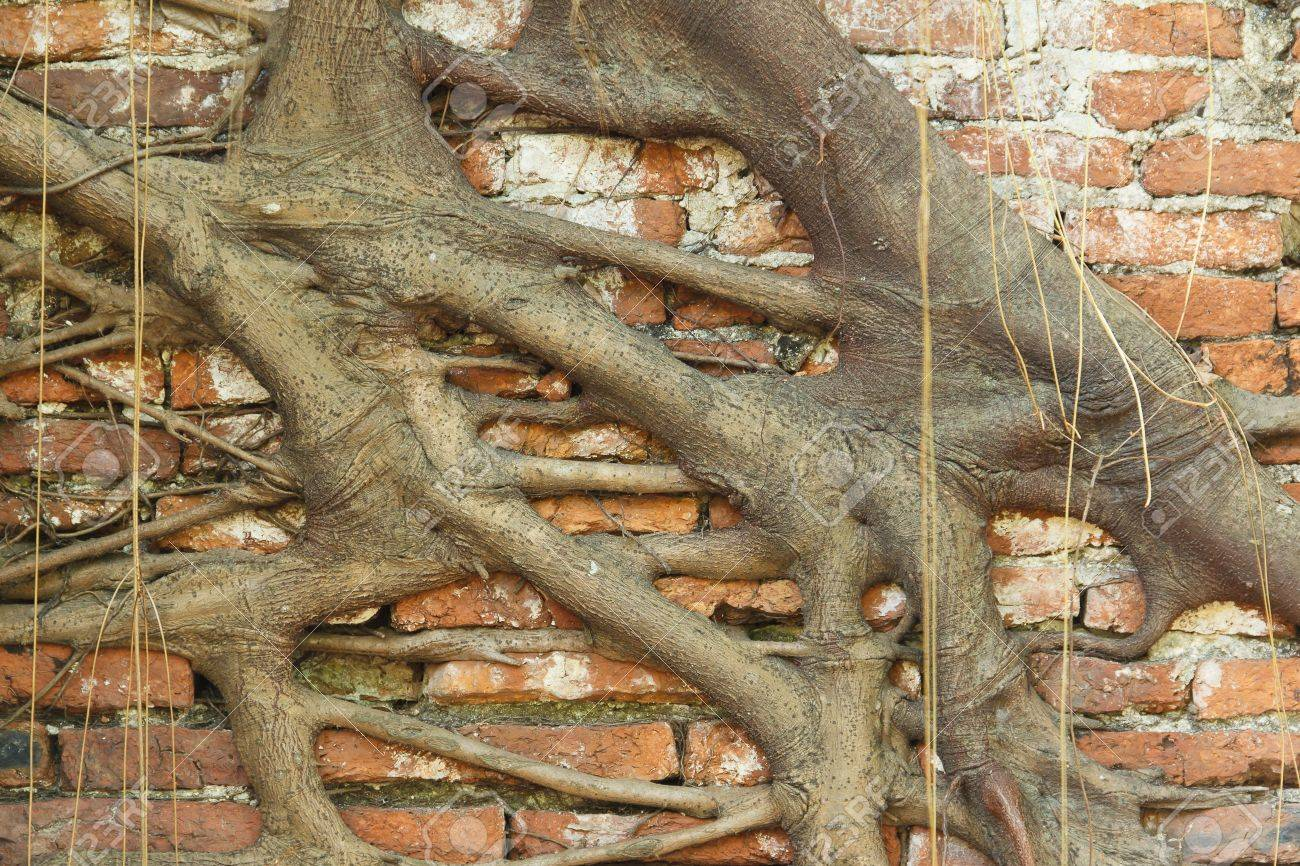 banyan tree roots overgrown old brick wall Stock Photo - 13449428