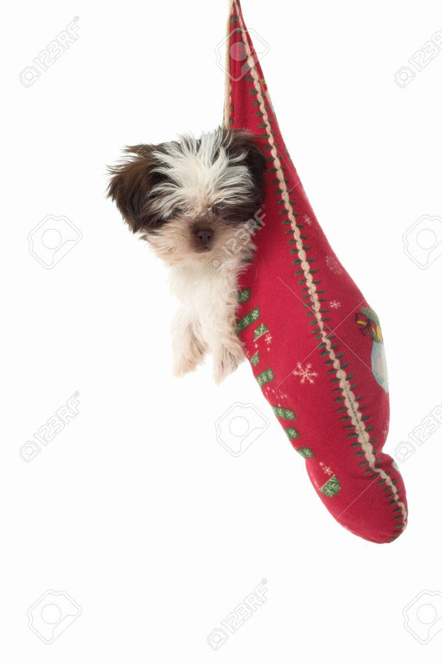 Cute Shih Tzu puppy dog, hanging in a Christmas stocking. Stock Photo - 617501