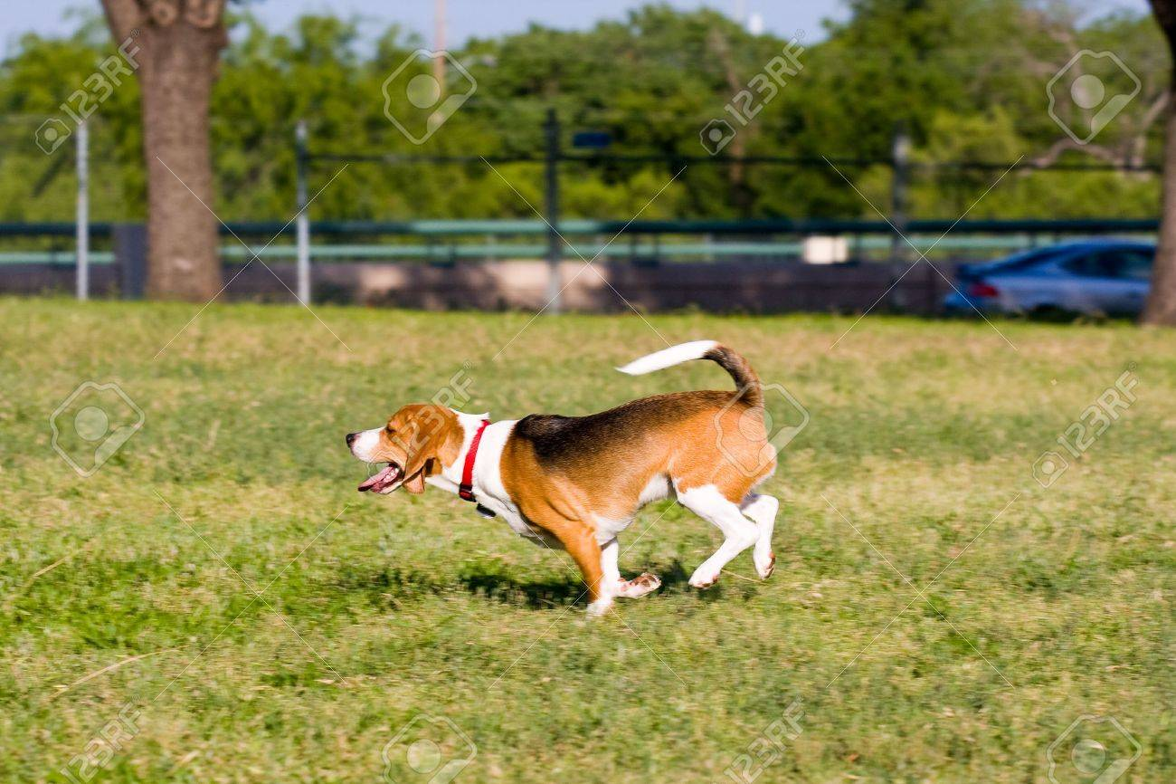 Beagle Running Beagles do best - run  run