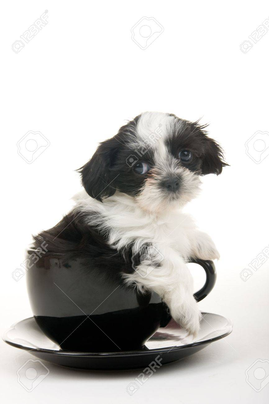 Cute black and white Shih Tzu puppy in a teacup - well, actually