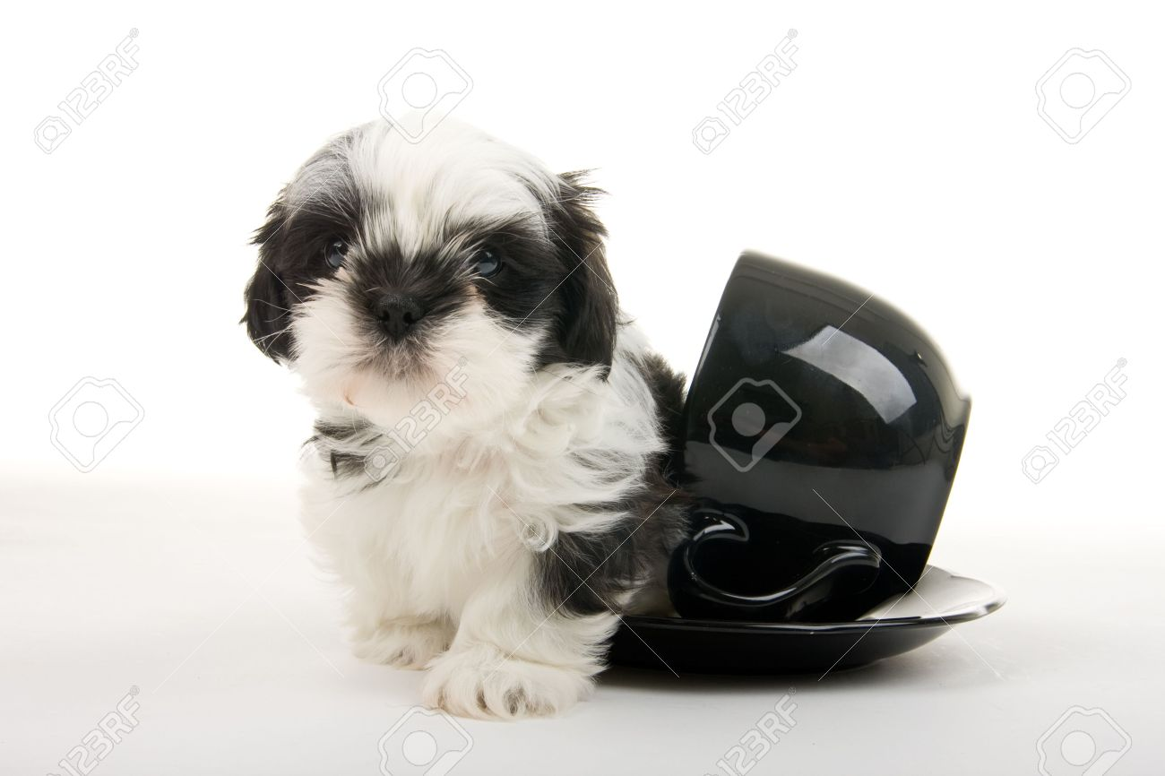 Cute Black And White Shih Tzu Puppy Crawling Out Of A Teacup Stock