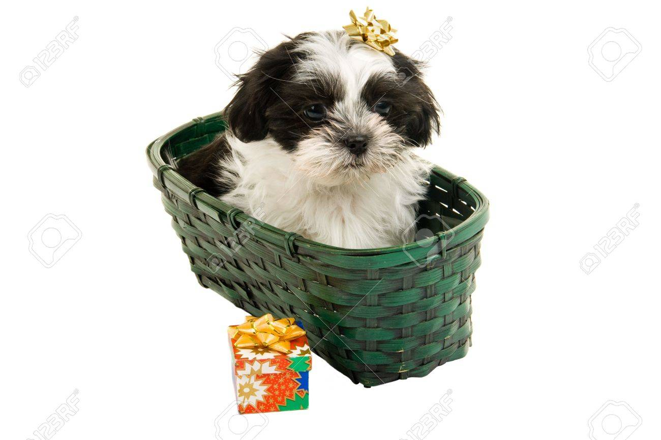 Cute Shih Tzu Puppy In A Green Basket With A Gold Bow On Her Stock