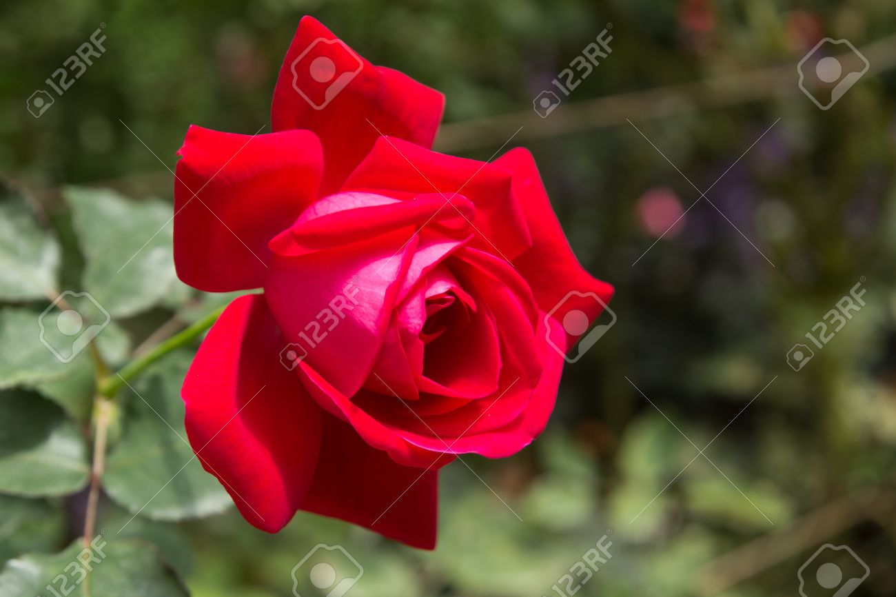 profondeur rose rouge fleur plante dans le jardin banque d'images