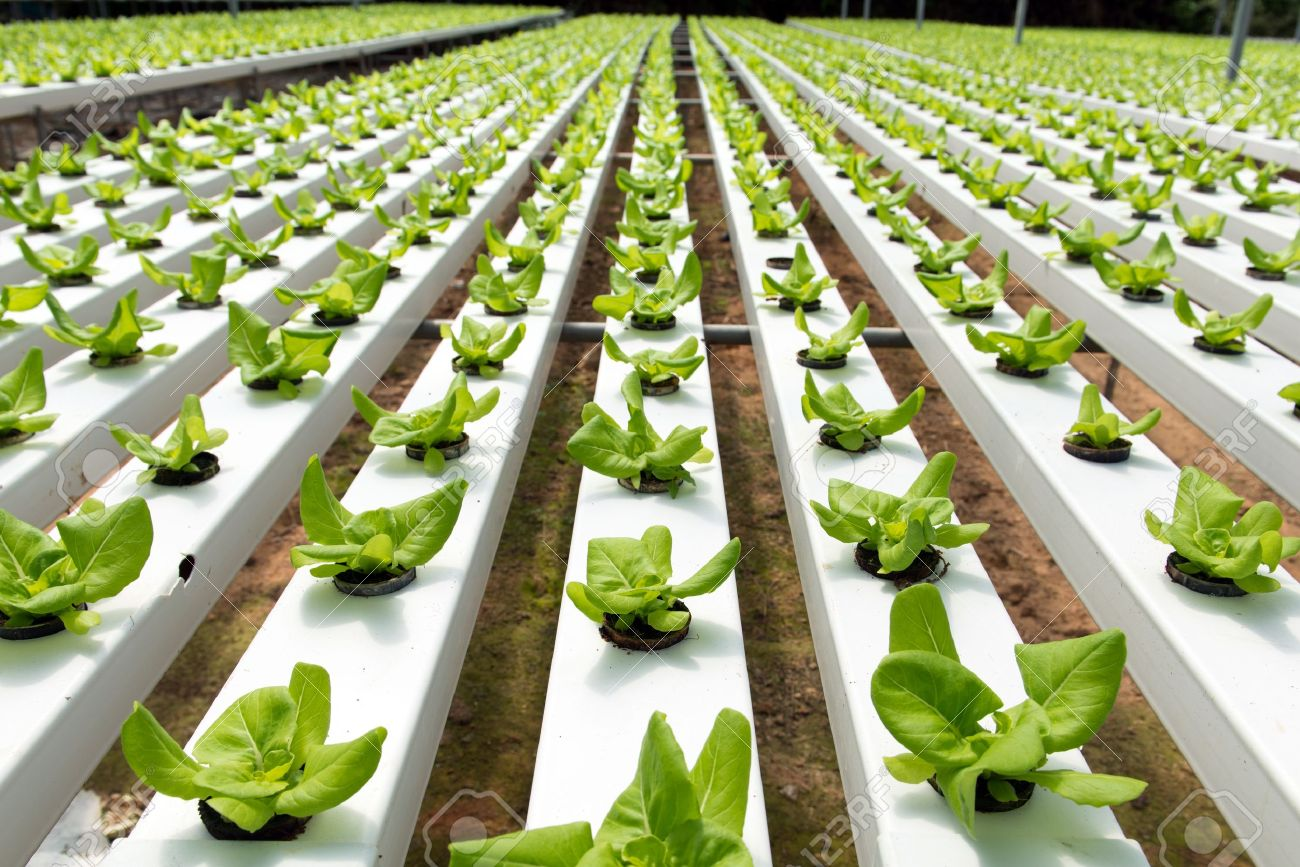 Hydroponic Vegetables Growing In Greenhouse At Cameron Highlands Stock  Photo   20153975