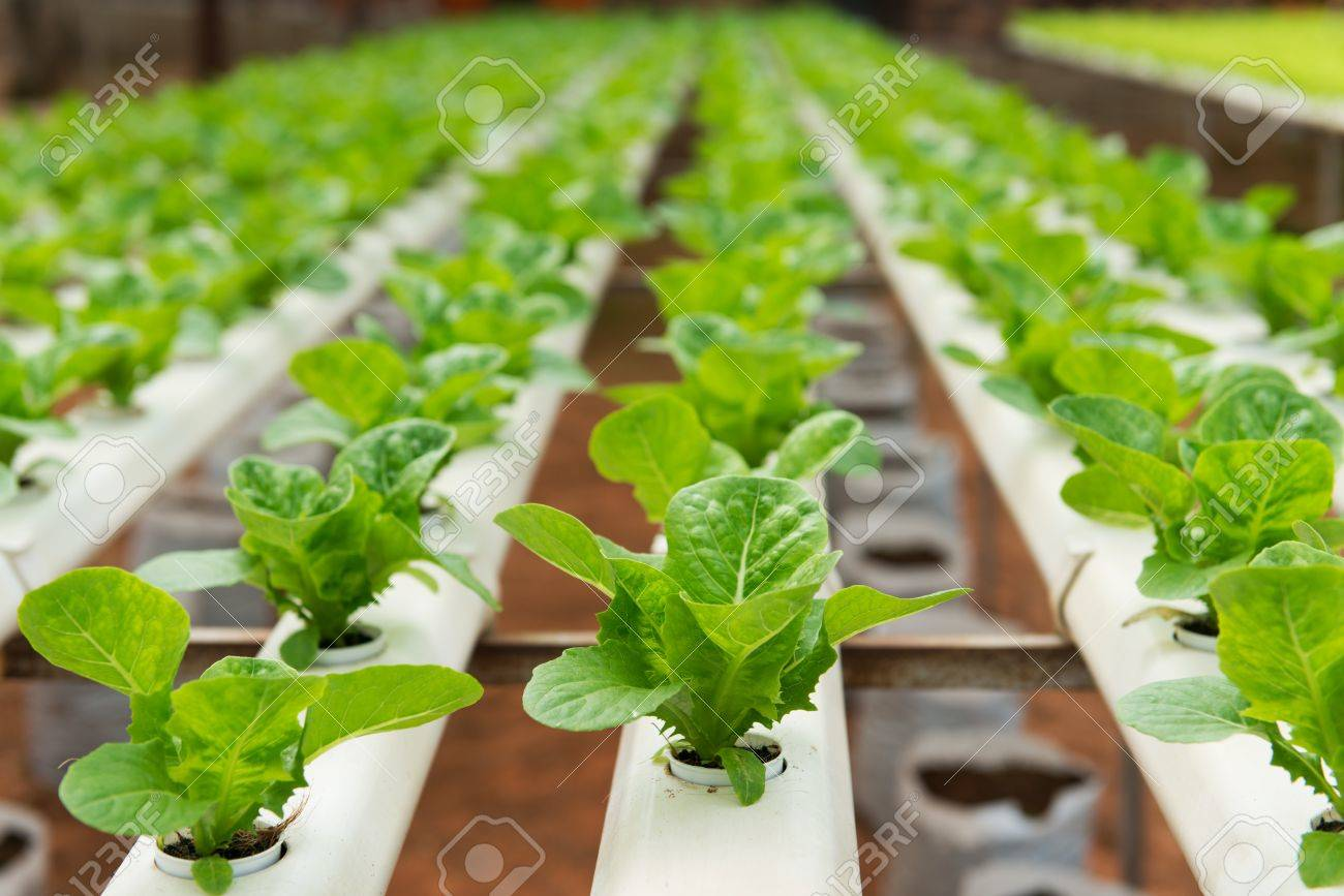 Hydroponic Vegetables Growing In Greenhouse At Cameron Highlands Stock  Photo   20154019