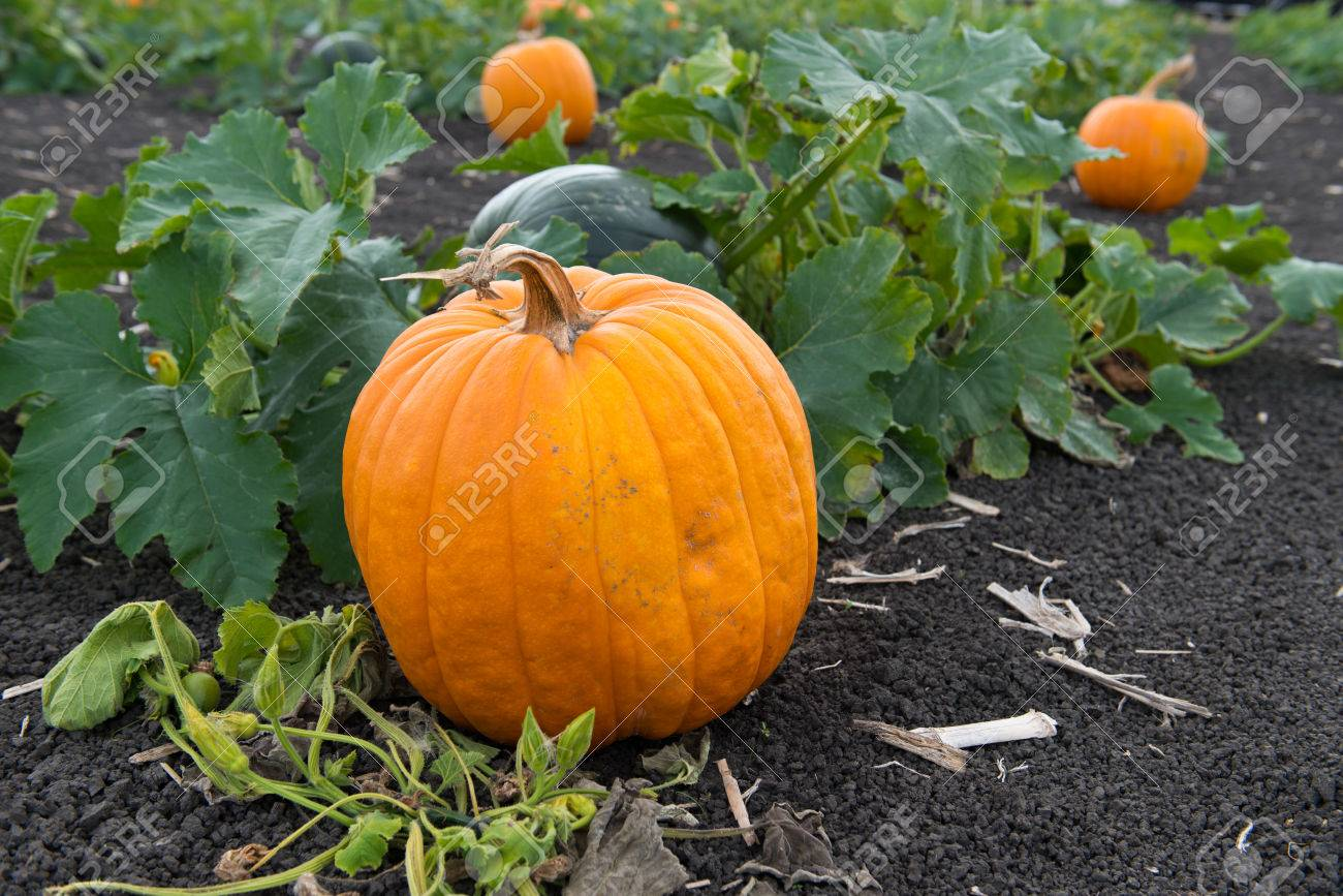 Pumpkins in pumpkin patch ready for harvest Stock Photo - 22819421