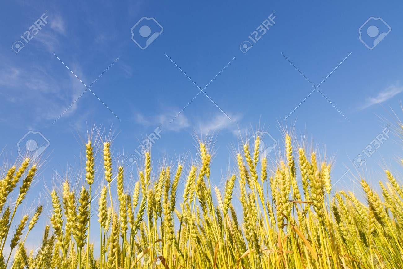This is a picture of wheat fields in early summer I have taken in May Stock Photo - 13720100