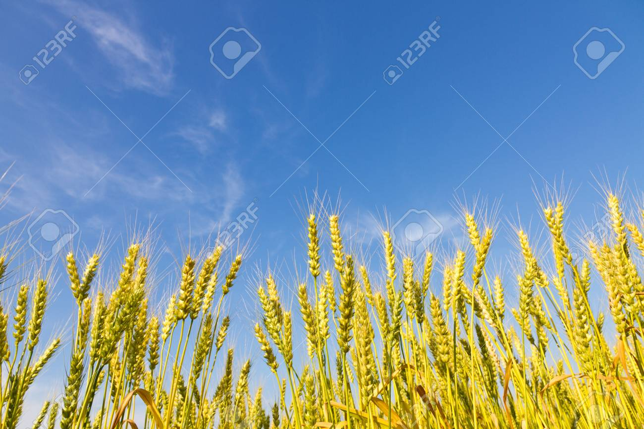 This is a picture of wheat fields in early summer I have taken in May Stock Photo - 13720101