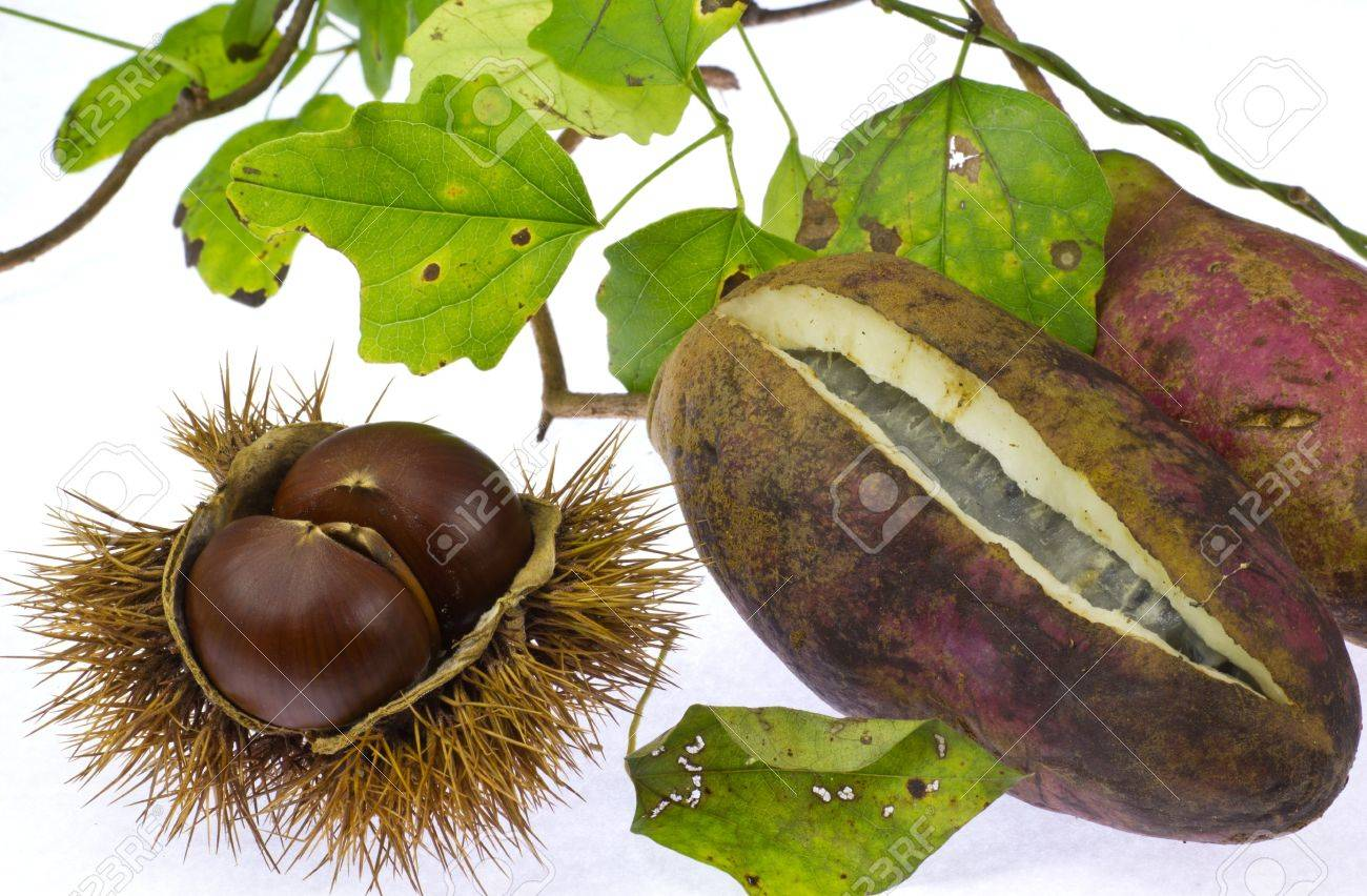 This Is A Photo Of Chestnut And Chocolate Vine That I Have Taken ...