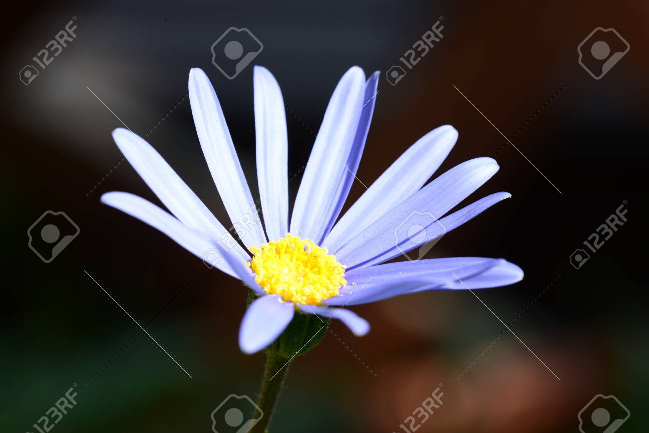 This Is A Photograph Of A Blue Daisy Flower Stock Photo Picture