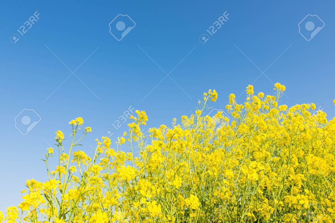 This is a photo of the flowers of rape. Stock Photo - 18627198