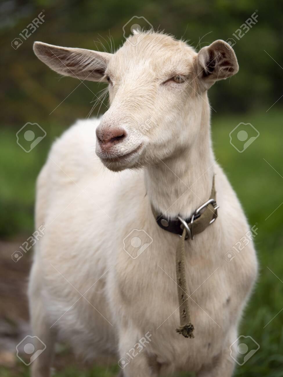 Zaanen goat. In the green grass. Natural habitat. Field of green grass in summer. - 150497627