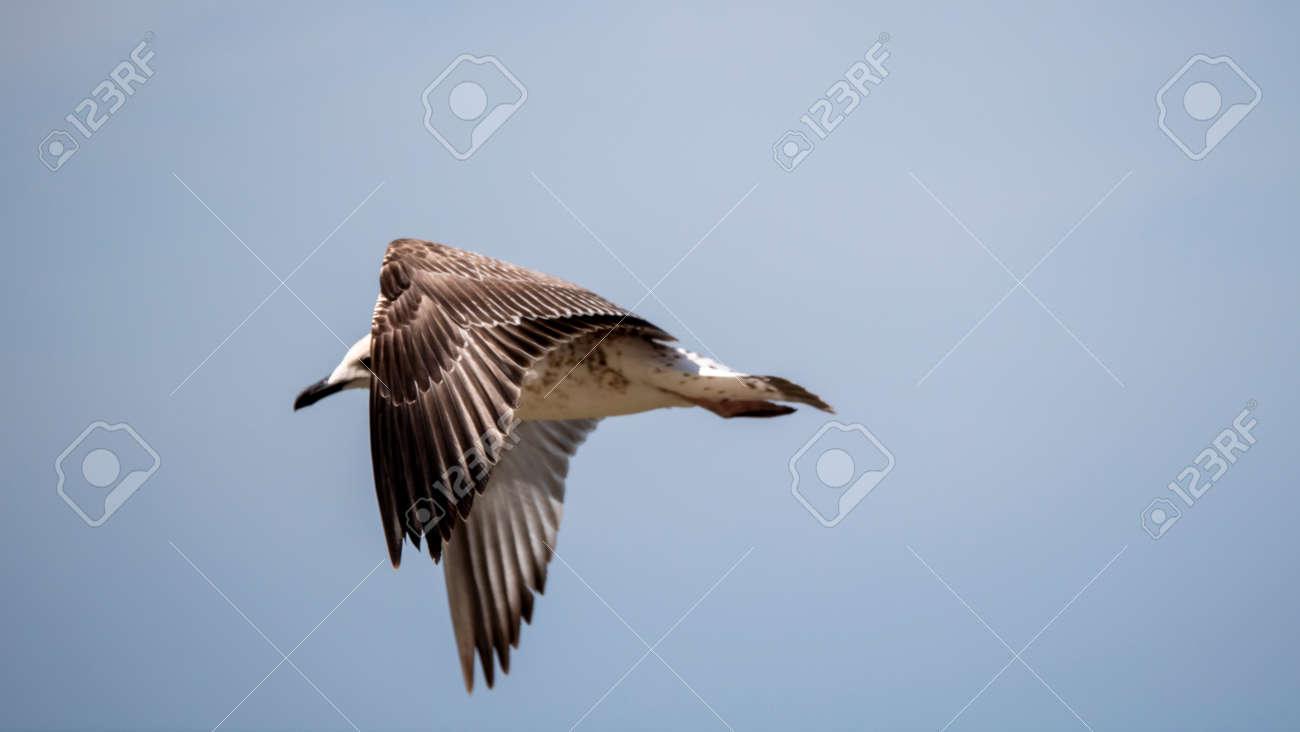 Sea bird in flight. Seagull against the blue sky. - 157026591