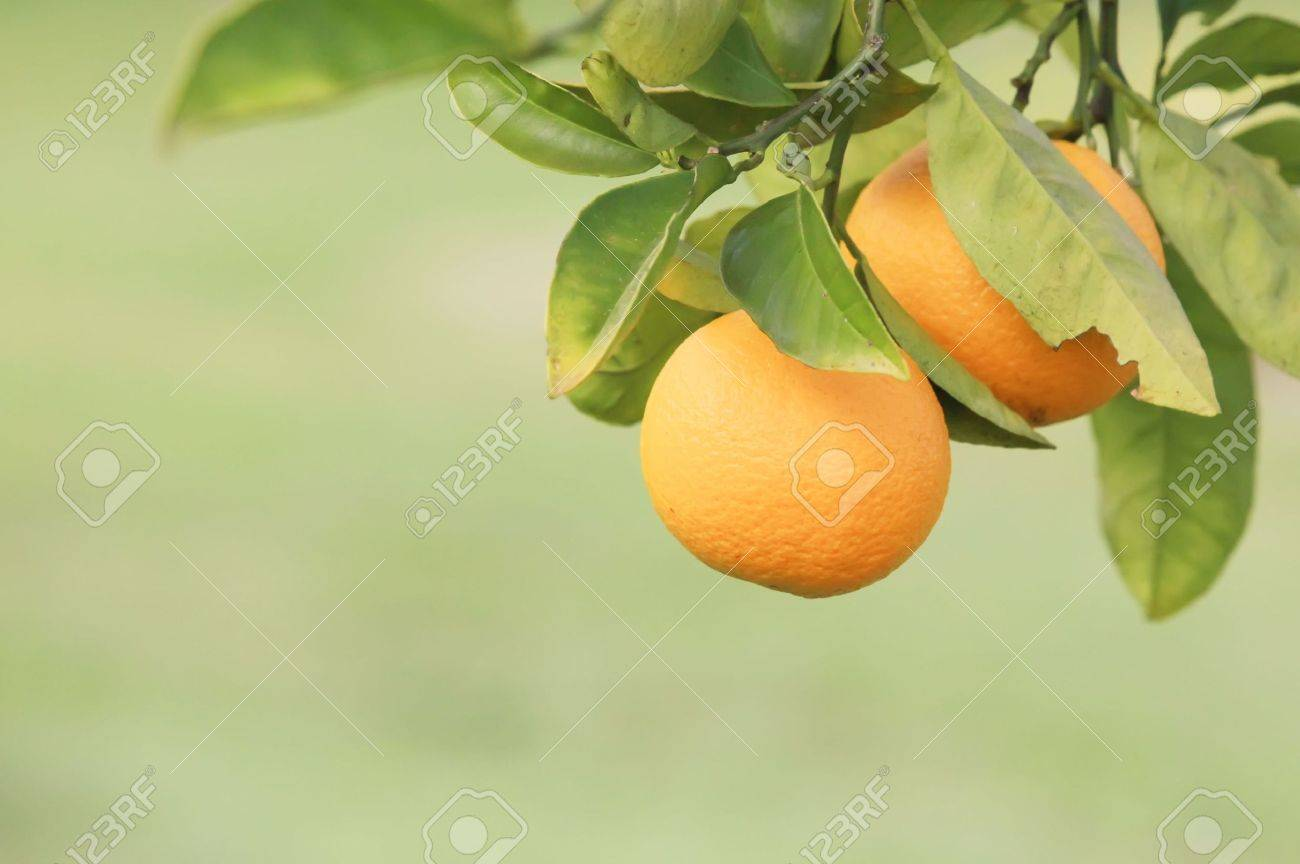 Oranges Hanging on a Fruit Tree Branch in a Farm - 5604274
