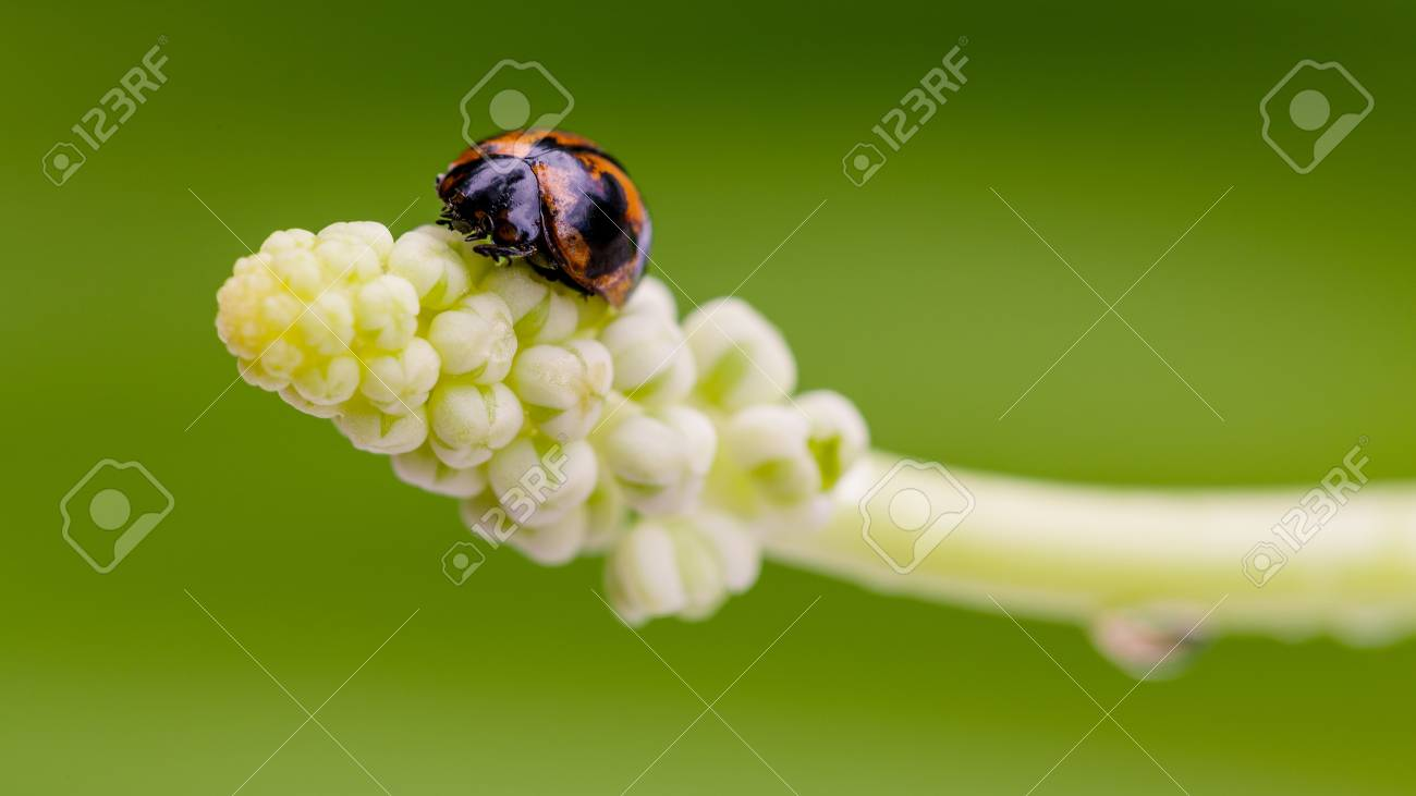 Der Marienkäfer Auf Weiße Blume Nahaufnahme Lizenzfreie Fotos