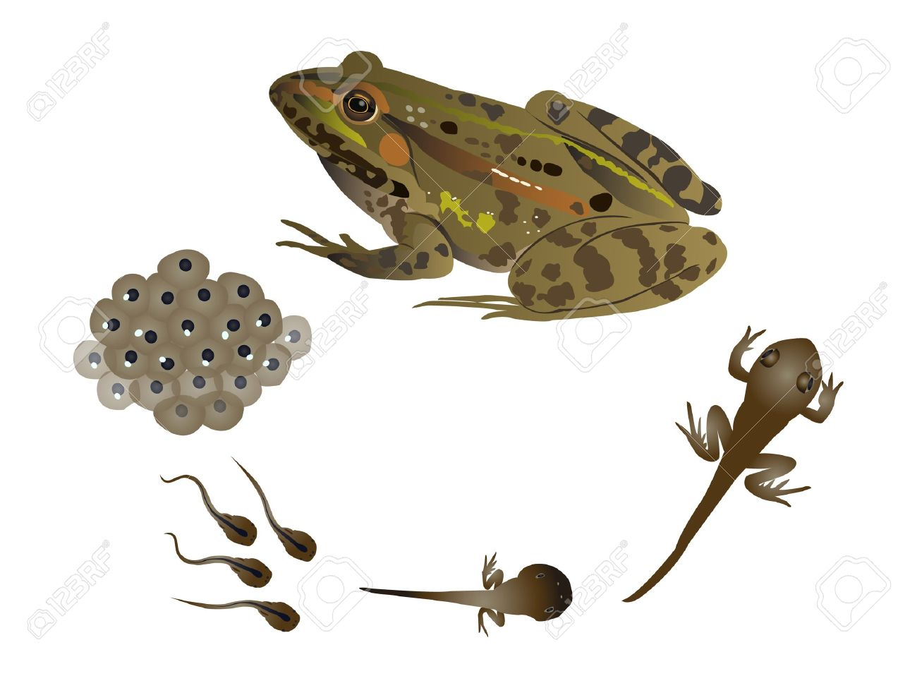 Kết quả hình ảnh cho vòng đời ếch