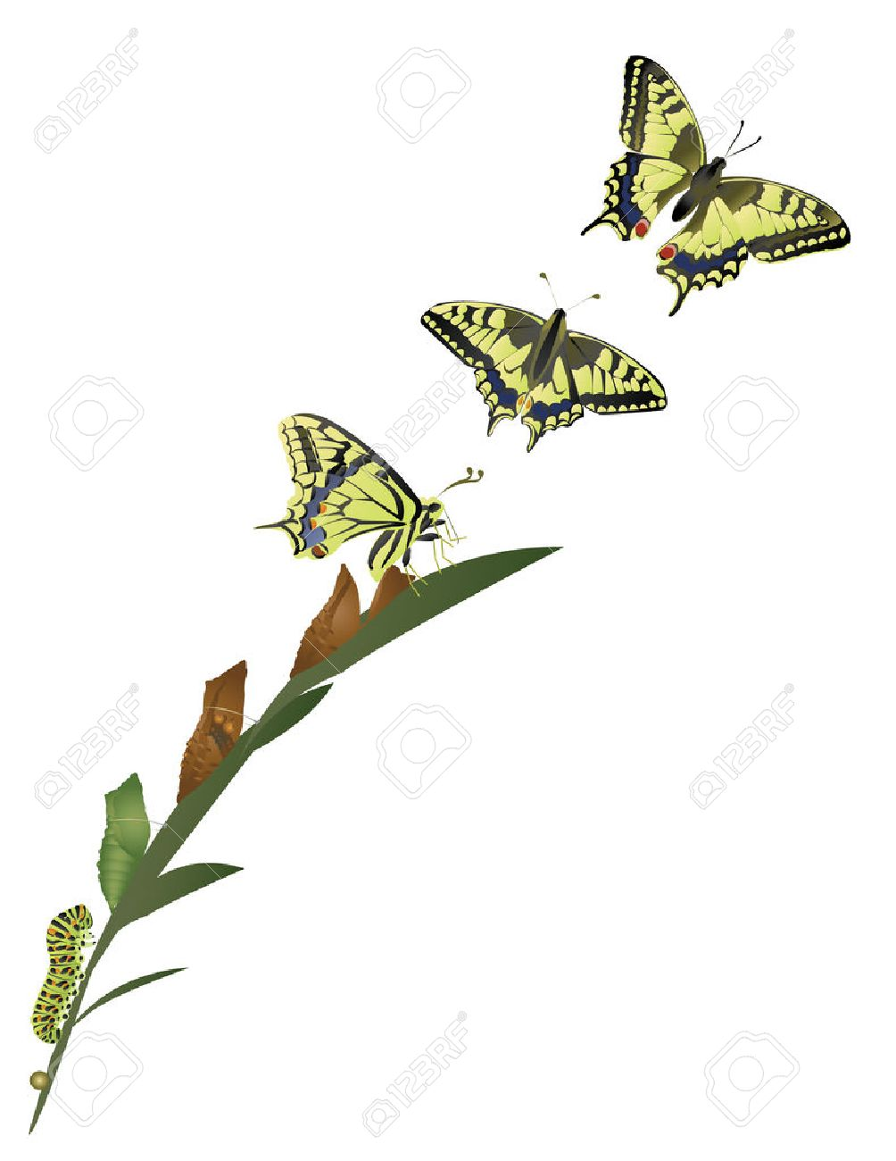 115 butterfly life cycle cliparts stock vector and royalty free butterfly life cycle life cycle of butterfly robcynllc Gallery