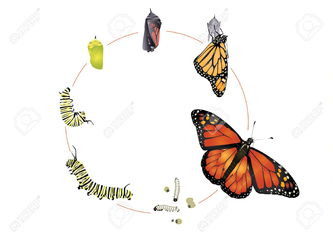 Life cycle of monarch butterfly. - 47649190