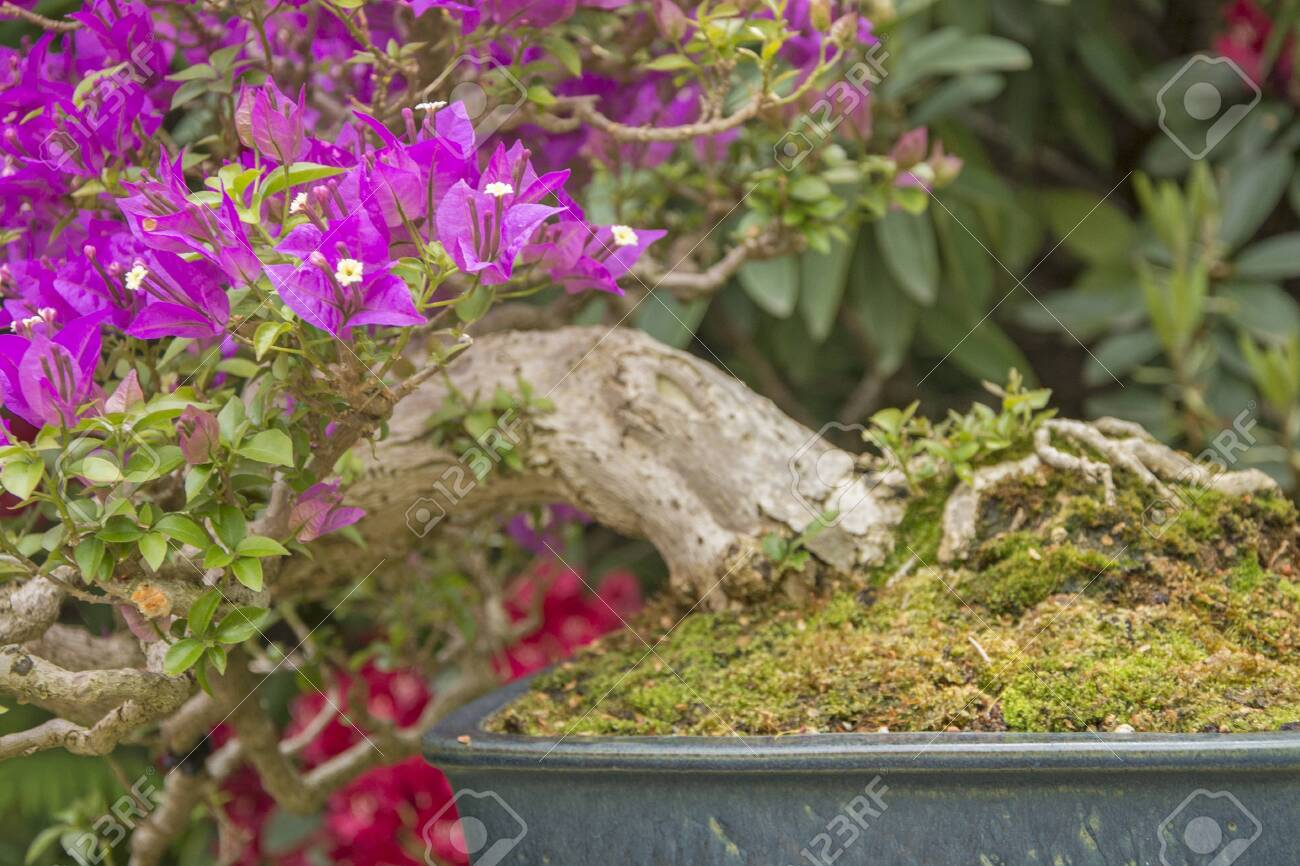 Bougainvillea Bonsai Stock Photo Picture And Royalty Free Image Image 124360848