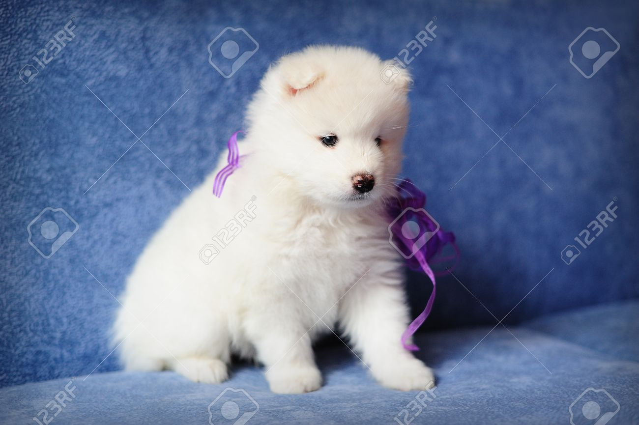 Cutest Smiling Samoyed Or Bjelkier Puppy With A Purple Ribbon Stock Photo Picture And Royalty Free Image Image 13798190