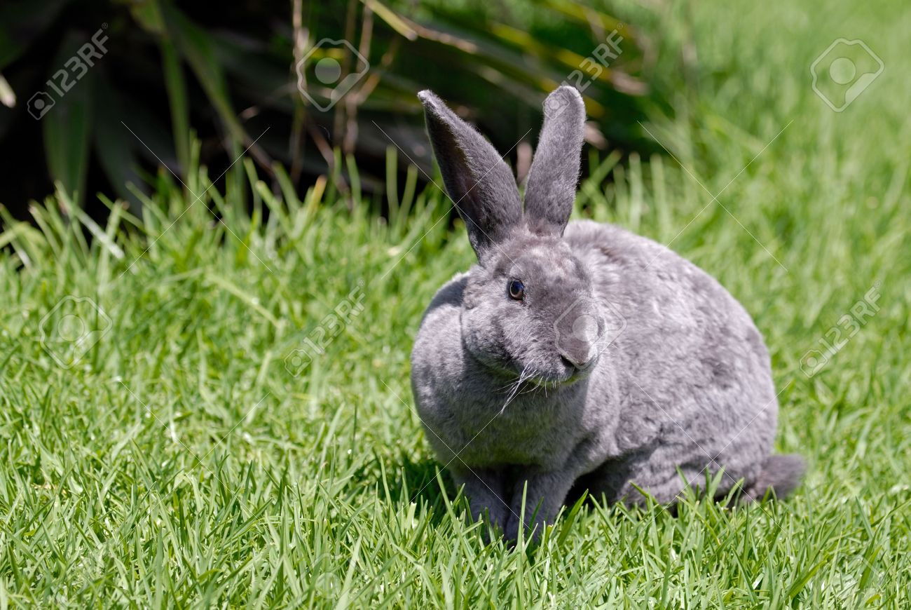 the grey rabbit on the grass. breed reks - 712952