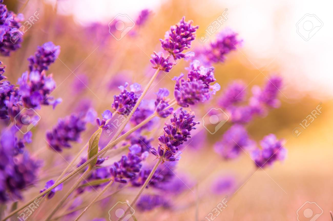 Beautiful lavender flowers background close up stock photo beautiful lavender flowers background close up stock photo 43157454 izmirmasajfo