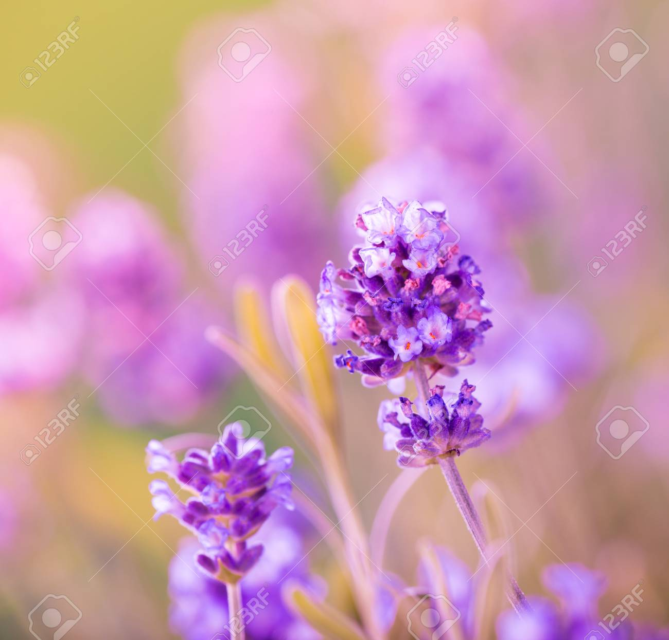 Beautiful lavender flowers background close up stock photo beautiful lavender flowers background close up stock photo 43157459 izmirmasajfo