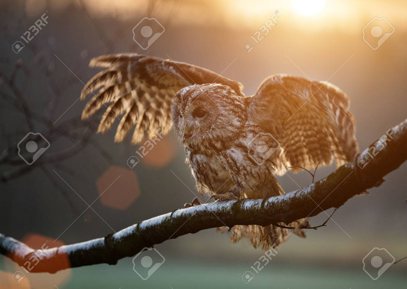 Tawny Owl is sitting on birch branch during sunset. - 64974254