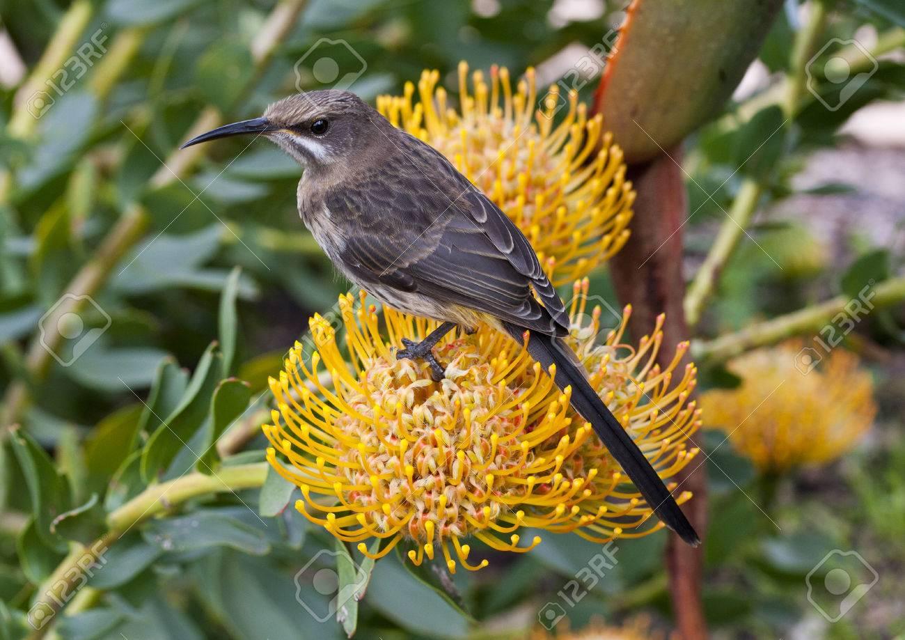 Sugar Bird On A Yellow Pin Cushion Protea Flower