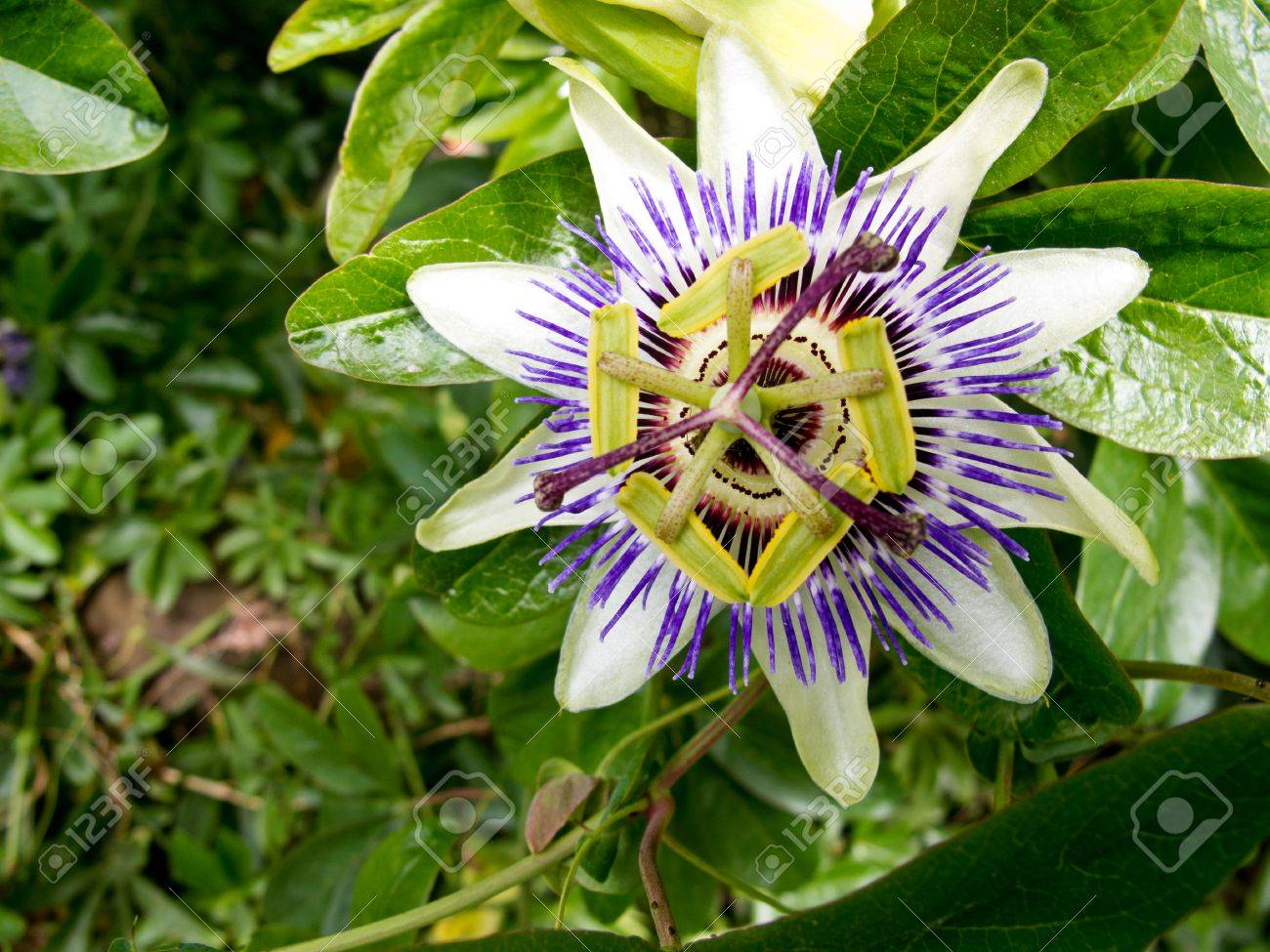 An Image Of The Beautiful Flower Passiflora Caerulea Also Known