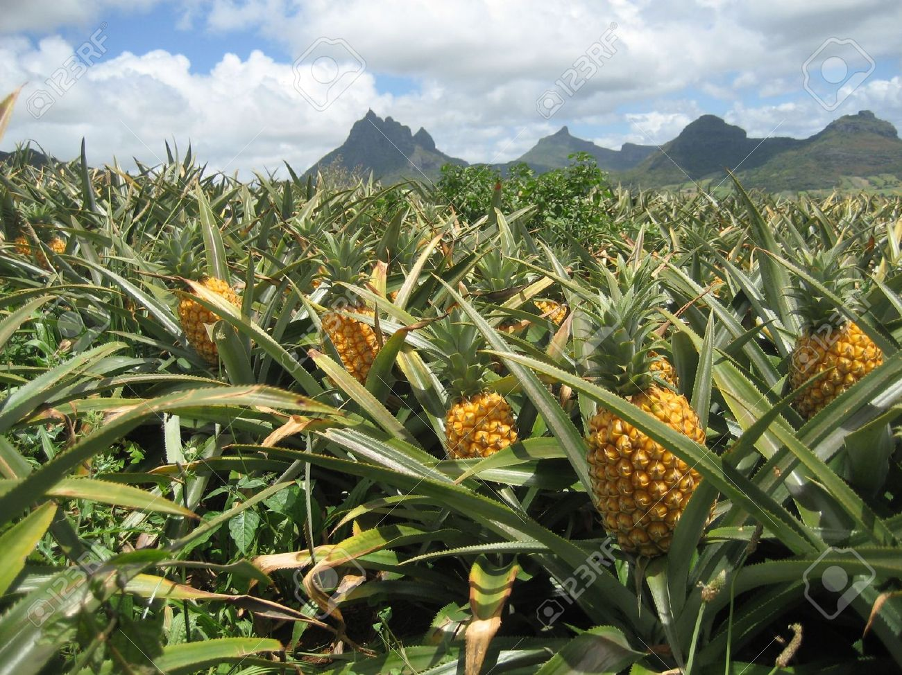 Pineapple field in Les Mariannes, Mauritius Stock Photo - 3682265