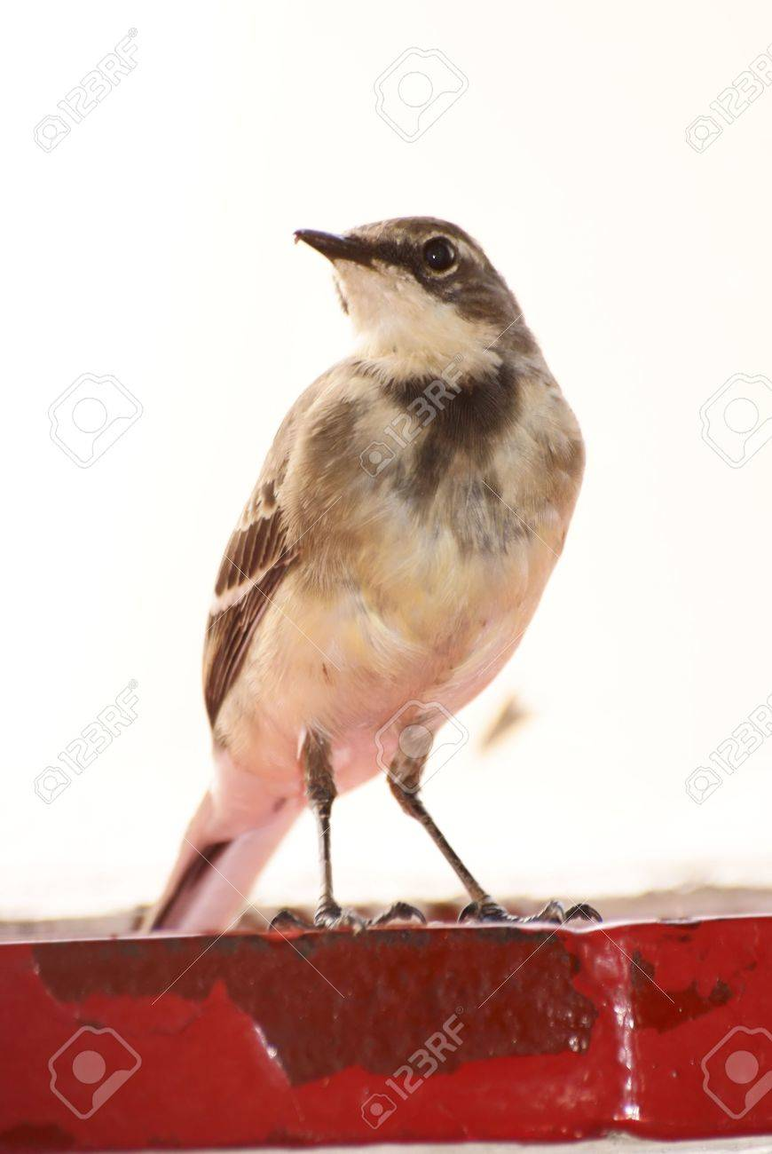 Cape Wagtail Stock Photo - 6685745