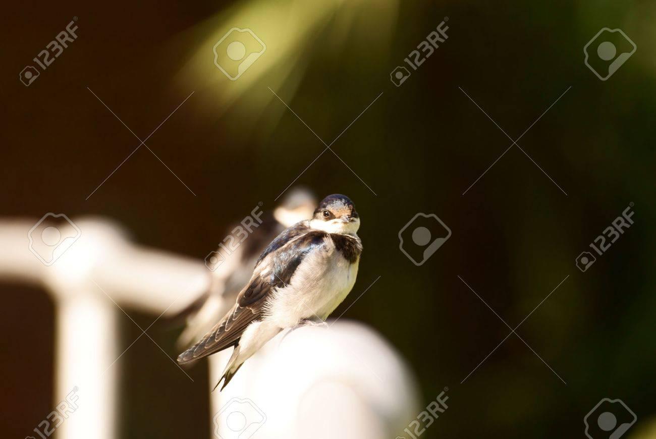 Swallows Stock Photo - 6685801