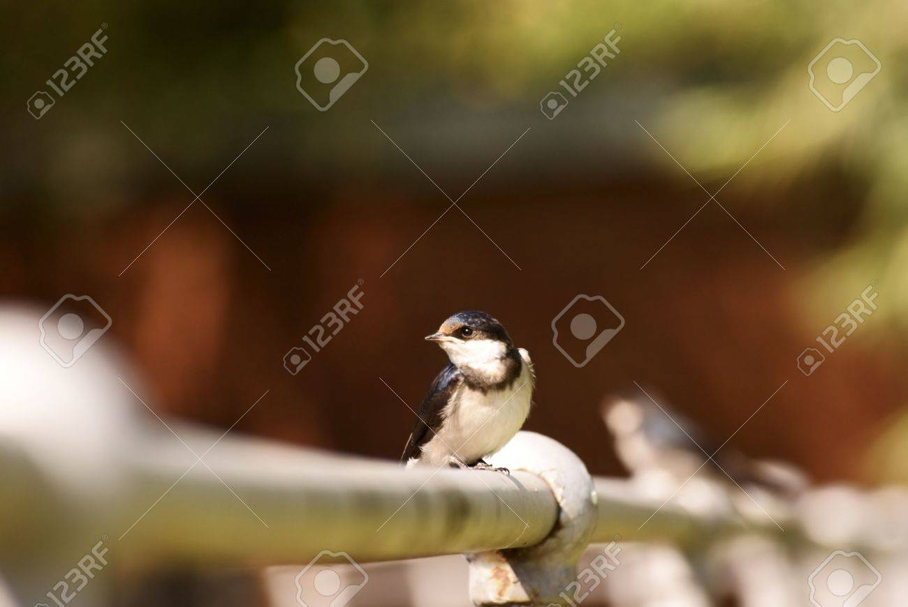 Swallows Stock Photo - 6685799