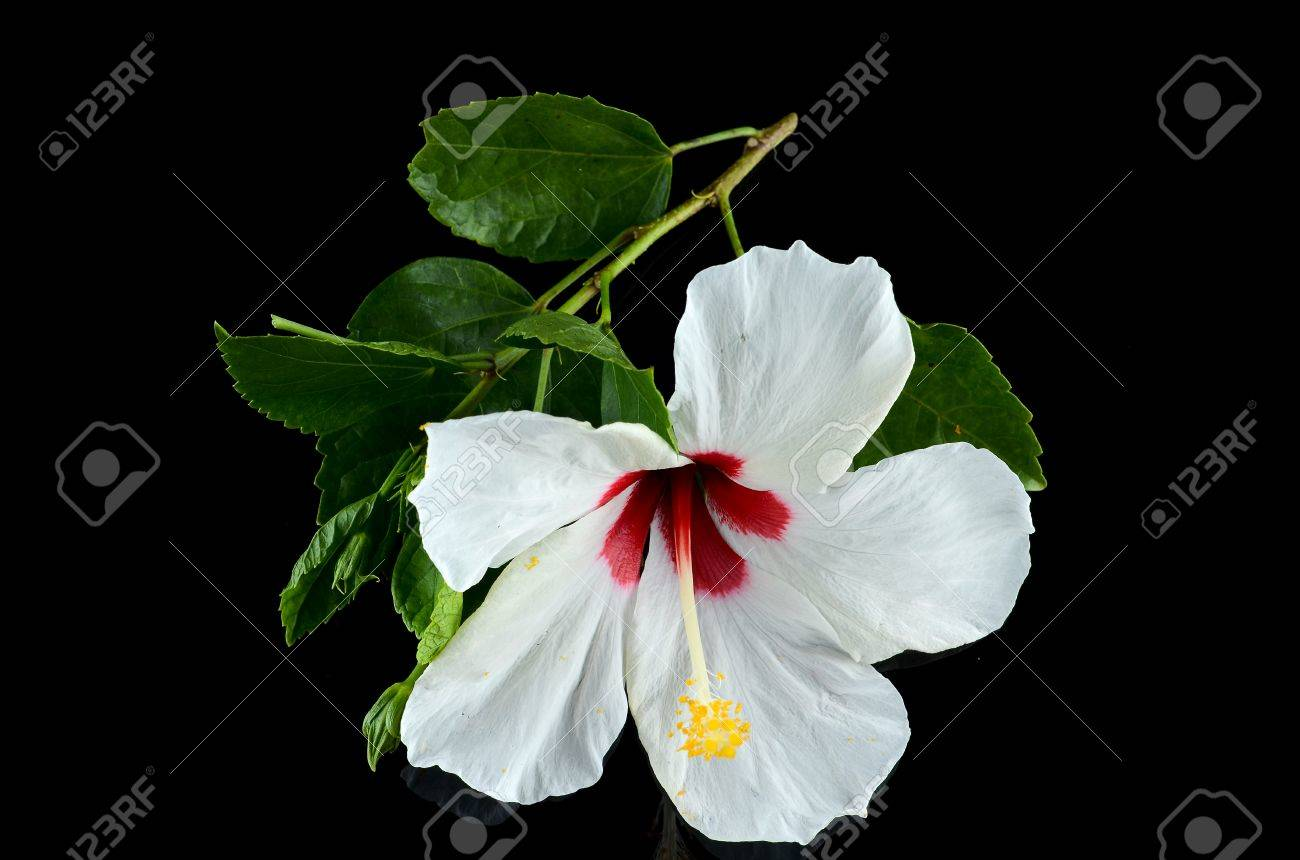 White Hibiscus Flower Over Black Background Stock Photo Picture And