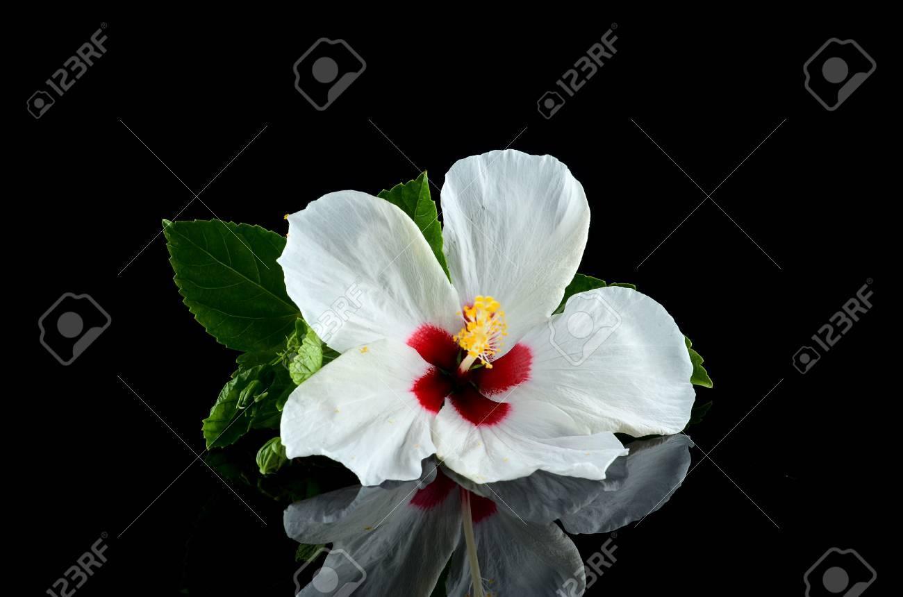 White hibiscus flower over black background stock photo picture and stock photo white hibiscus flower over black background izmirmasajfo