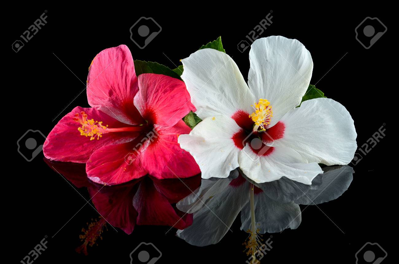 Red and white hibiscus flower over black background stock photo red and white hibiscus flower over black background stock photo 70972666 izmirmasajfo